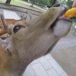 do deer like cheetos nara japan 23