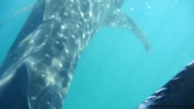swimming with the worlds largest fish whale sharks in oslob 20