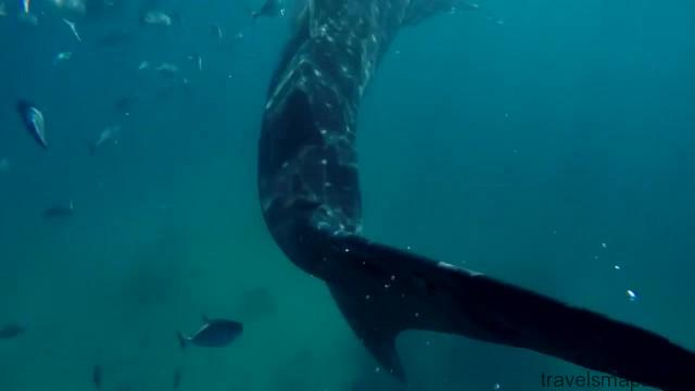 swimming with the worlds largest fish whale sharks in oslob 24
