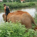 thailands dirty secret the elephants of thailand 43