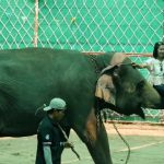 thailands dirty secret the elephants of thailand 64