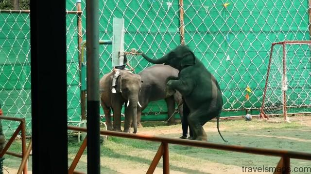 thailands dirty secret the elephants of thailand 66